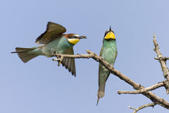 Bee eater. Couple of bee eater birds over a blue background sky Stock Photo