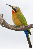 Bee-eater royalty free stock photos