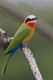 Bee-eater Foto de Stock Royalty Free