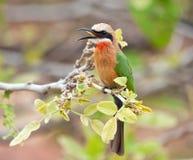Bee-eater afrontado blanco Fotografía de archivo libre de regalías