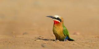 Bee-eater afrontado blanco Fotos de archivo libres de regalías