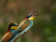 Bee eater Aryan. Hunt and hunter Bee eater Aryan Stock Images