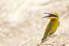 bee-eater Azul-atado Imagem de Stock