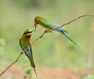 bee-eater Azul-atado Foto de archivo