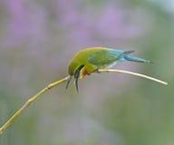 bee-eater Azul-atado Fotografía de archivo