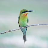 bee-eater Azul-atado Fotos de archivo libres de regalías