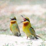 bee-eater Azul-atado Foto de archivo libre de regalías