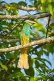 Bee-eater Azul-barbudo Fotografía de archivo libre de regalías