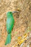 Bee-eater Azul-barbudo Fotos de archivo