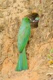 Bee-eater Azul-barbudo Imagenes de archivo