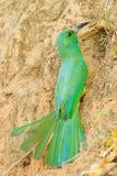 Bee-eater Azul-barbudo Fotografía de archivo