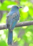 Bee-eater Azul-barbudo Imágenes de archivo libres de regalías