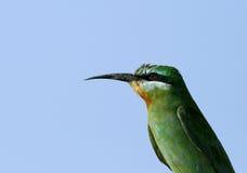 Bee-eater Azul-cheeked Foto de archivo