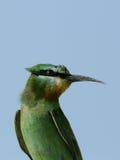 Bee-eater Azul-cheeked Fotografía de archivo