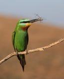 Bee-eater Azul-cheeked Imágenes de archivo libres de regalías