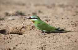 Bee-eater Azul-cheeked Fotos de archivo libres de regalías