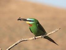 Bee-eater Azul-cheeked Fotografía de archivo libre de regalías
