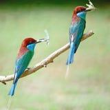 Bee-eater Azul-throated Imagen de archivo libre de regalías