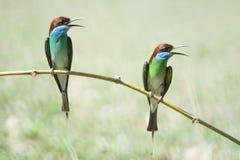 Bee-eater Azul-throated Fotografía de archivo