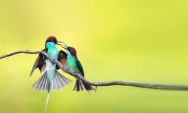 Bee-eater Azul-throated Imágenes de archivo libres de regalías