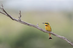 Bee Eater Royalty Free Stock Photography