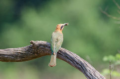 Bee-eater with bee on branch Royalty Free Stock Image