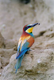 Bee-eater with bee Royalty Free Stock Images