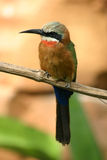 Bee eater bird. Tropical bee eater bird sitting on a branch of a tree stock image