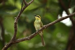 Bee eater Royalty Free Stock Image
