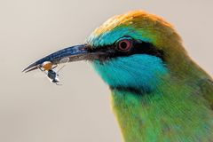 Bee Eater Royalty Free Stock Photo