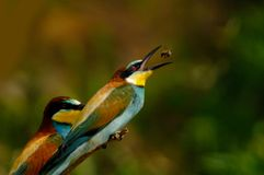 Bee eater bird catching prey. Side view of bee eater bird with open mouth catching prey Stock Image