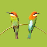 Bee eater Birds Royalty Free Stock Photography
