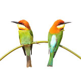 Bee eater Bird Stock Photography