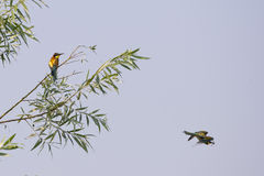 A bee eater bird flying with a butterfly Stock Image