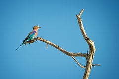 Bee eater bird Stock Images