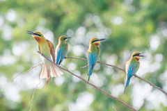 Bee-eater bird. In thailand Stock Photography