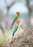 Bee-eater bird. In thailand Stock Image