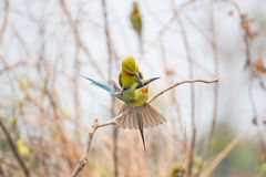 Bee-eater bird. In thailand Stock Images
