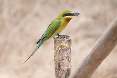 Bee-eater bird. In thailand Royalty Free Stock Photo