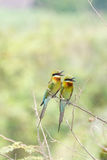 Bee-eater bird Stock Images