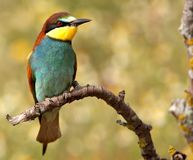 Bee-eater the bird of thousand colors Stock Photo