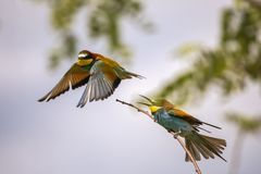 Bee eater birds in various postures. Bee eater birds Merops apiaster in various postures Royalty Free Stock Photos