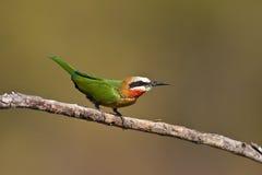 Bee-eater Blanco-throated Foto de archivo