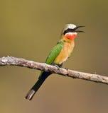 Bee-eater Blanco-throated Fotografía de archivo