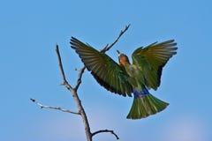 Bee-eater Blanco-throated Imagenes de archivo