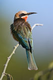 Bee-eater Blanco-throated Imagen de archivo