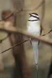 Bee-eater Blanco-throated Imagen de archivo libre de regalías