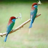 Bee-eater Bleu-throated Image libre de droits