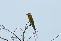 bee-eater Blu-munito Immagini Stock