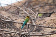 bee-eater Blu-munito Fotografia Stock